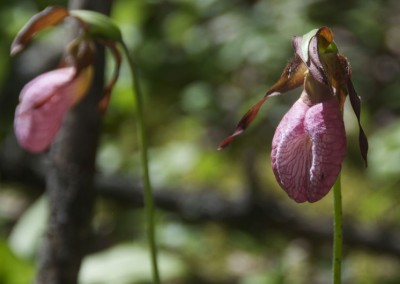 lady-slipper